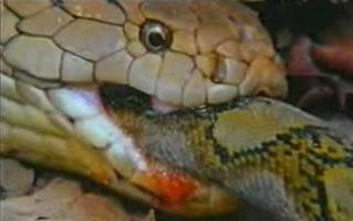 非洲美女蛇图片 真实美女吞蛇到肚子里